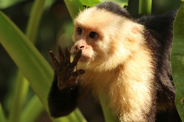 white-face-capuchin