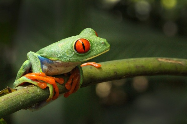 red-eye-tree-frog
